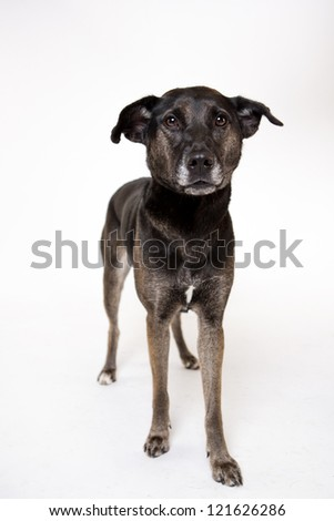 Mix Breed dog muts standing on white - stock photo