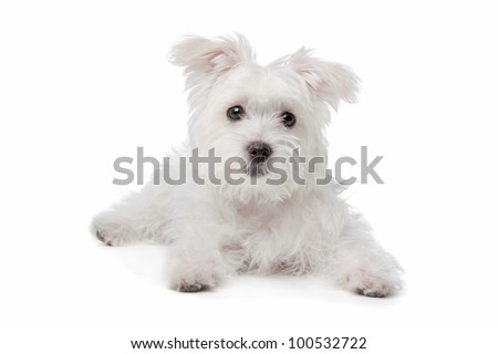 mix Maltese dog in front of a white background