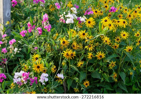 Mix of Black Eyed Susans and Sweet Peas in summer. - stock photo