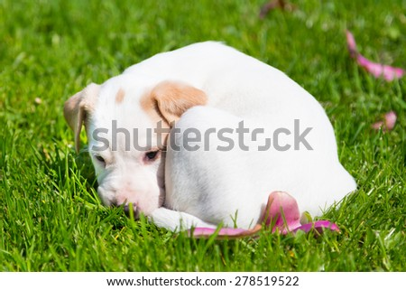 Mixed-breed adorable cute little puppy lying twisted in green grass on a sunny spring day. - stock photo