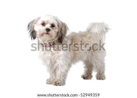mixed breed (boomer) dog in front of a white background