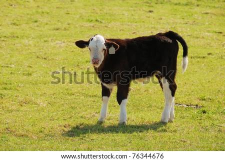 Mixed breed cattle ranch near Hermiston Oregon - stock photo