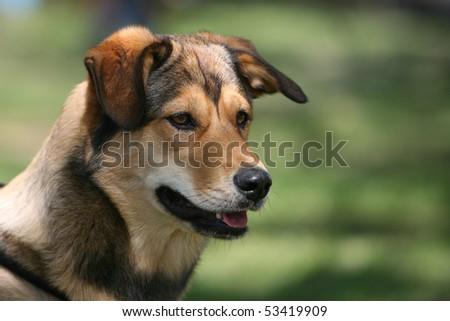 Mixed-breed dog - stock photo