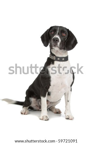 mixed breed dog (Beagle, cocker spaniel) isolated on white - stock photo