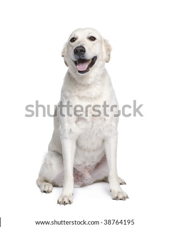 Mixed breed dog between Golden Retriever and Husky, 6 years old, in front of white background - stock photo