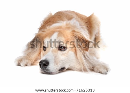 mixed breed dog, half border collie, half golden retriever - stock photo