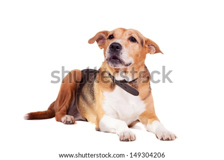 Mixed breed dog, half russian hound, half Pit bull isolated on the white background - stock photo