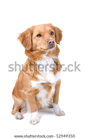 mixed breed dog (half tollinger retriever)  in front of a white background
