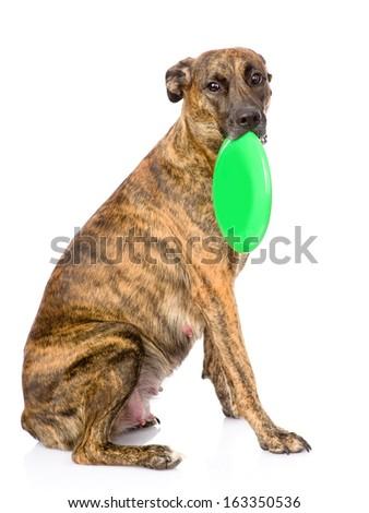 Mixed breed dog  holding a frisbee. isolated on white background - stock photo