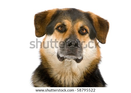mixed breed dog ( husky,rottweiler, shepherd) isolated on a white background