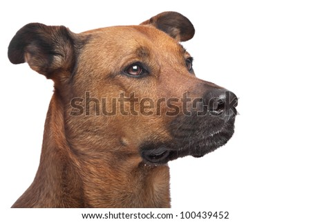 mixed breed dog in front of a white background