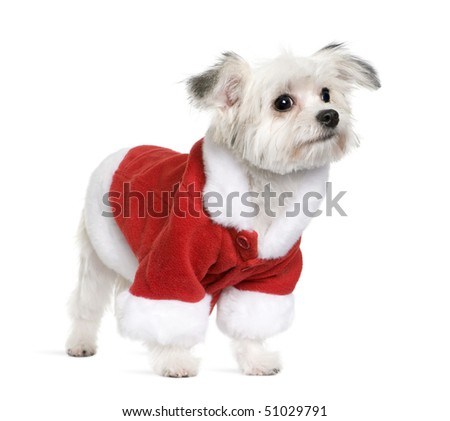 Mixed Breed dog in Santa coat, 6 months old, standing in front of white background - stock photo