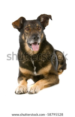 mixed breed dog isolated on white (Dutch shepherd,collie,labrador) - stock photo