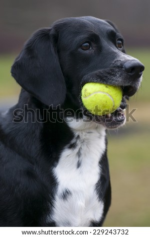 Mixed-breed dog Lisa playing with a tennis ball. - stock photo