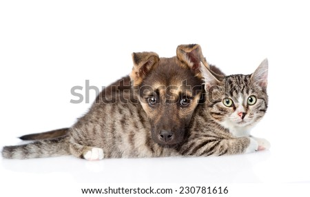 mixed breed dog lying with tabby cat. isolated on white background - stock photo