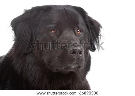 Mixed breed dog New Foundland/Bernese Mountain isolated on a white background - stock photo