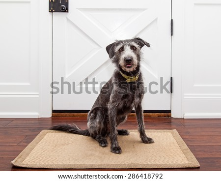 Mixed breed dog sitting in front of a door in her home waiting for a walk or for her owner ot come home - stock photo