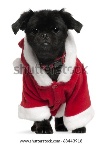 Mixed-breed dog wearing Santa outfit, 11 years old, standing in front of white background - stock photo