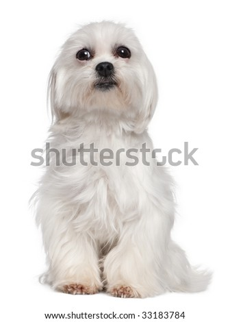 Mixed-Breed Dog with a maltese dog in front of a white background