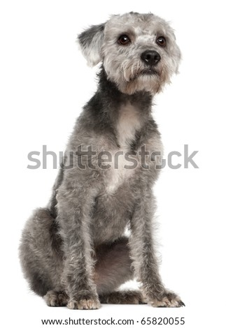 Mixed-breed dog, 1 year old, sitting in front of white background - stock photo