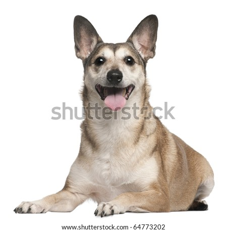 Mixed-breed dog, 10 years old, lying in front of white background - stock photo