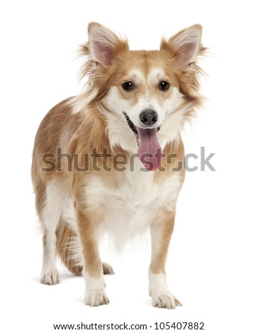 Mixed breed dog, 2 years old, portrait against white background