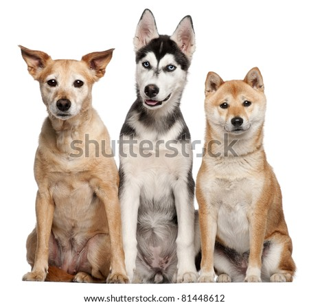 Mixed breed dog, 9 years old, Shiba Inu, 2 years old, and Siberian Husky puppy, 4 months old, sitting in front of white background - stock photo