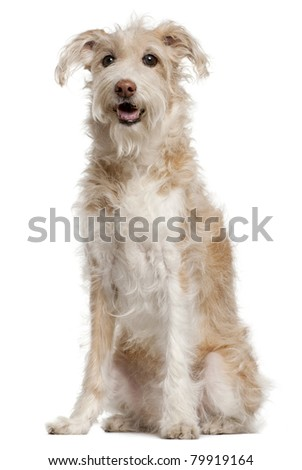 Mixed-breed dog, 14 years old, sitting in front of white background - stock photo