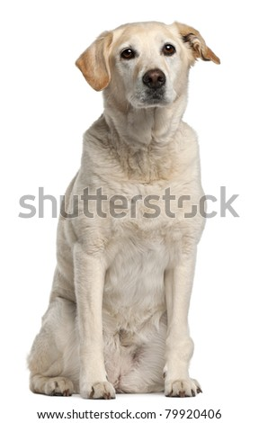 Mixed-breed dog, 12 years old, sitting in front of white background - stock photo