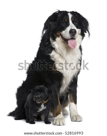 Mixed-breed dog, 11 years old, with small dog, sitting in front of white background