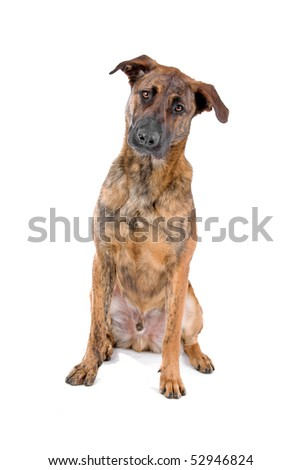 mixed breed(Dutch shepherd/Belgian shepherd) in front of a white background - stock photo
