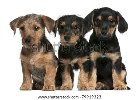 Mixed breed puppies, 8 weeks old, in front of white background - stock photo