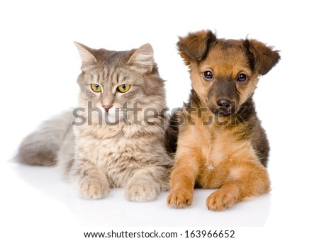 mixed breed puppy and cat together. isolated on white background - stock photo