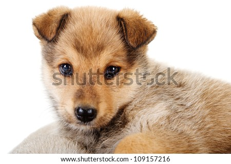 mixed breed puppy close-up. isolated on white background - stock photo