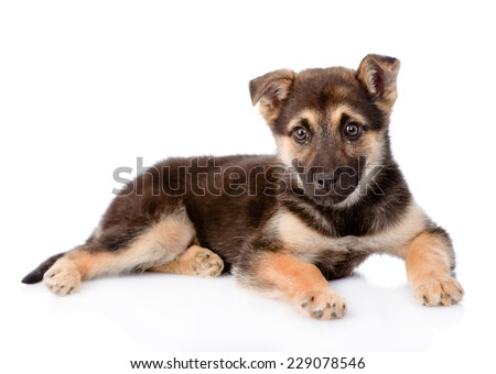 mixed breed puppy dog looking at camera. isolated on white background
