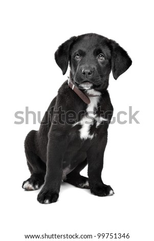 Mixed breed puppy. Great Dane, Rottweiler, in front of a white background. - stock photo