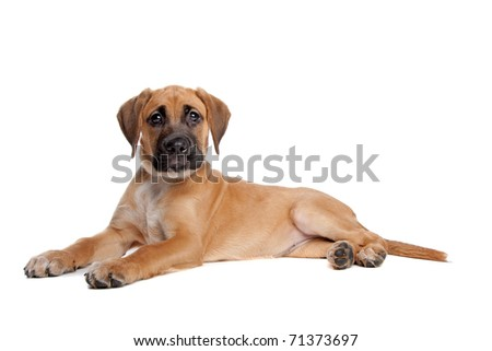 mixed breed puppy. mix from a boxer and a labrador - stock photo