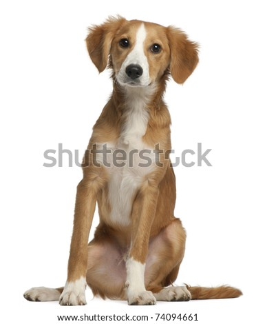 Mixed-breed puppy, 4 months old, sitting in front of white background - stock photo