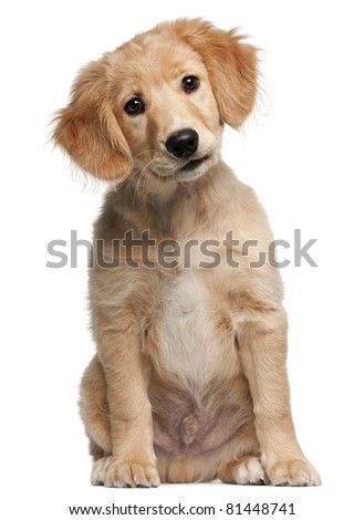 Mixed-breed puppy, 12 weeks old, sitting in front of white background - stock photo