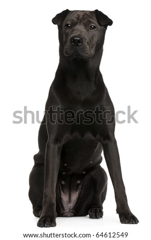 Mixed-breed Shar Pei, 8 months old, sitting in front of white background