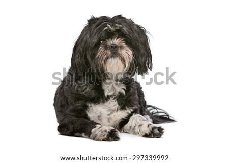Mixed breed small fluffy dog in front of a white background - stock photo