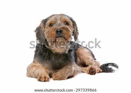 mixed breed Yorkshire Terrier in front of a white background