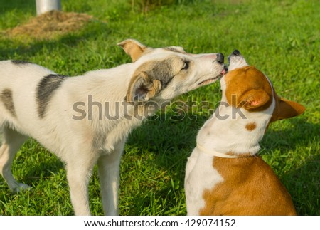 Mixed breed young dog licks mature basenji dog showing affection to older friend - stock photo