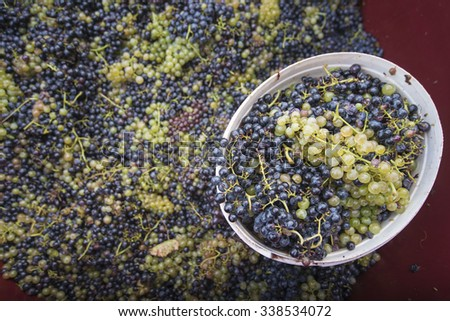 mixed grapes for cvicek wine - stock photo