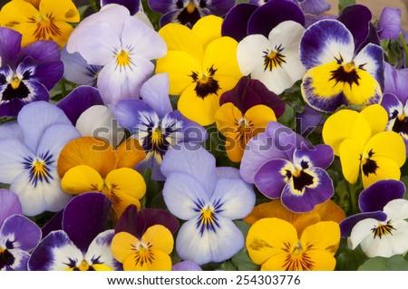 mixed pansies in garden - stock photo