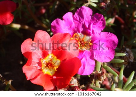 Mixed portulaca flowers - also called purslane or rose moss, sun plant or verdolaga.  Colorful full blooming portulaca (purslane, moss rose) as background.