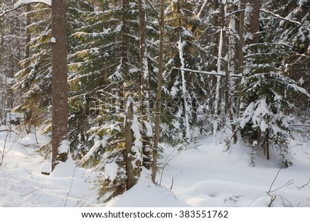 Mixed stand in sunny wintertime morning with snow wrapped old trees,Bialowieza Forest,Poland,Europe - stock photo