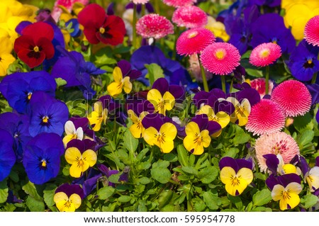 Mixture spring flowers vibrant colors pansies stock photo edit now mixture of spring flowers in vibrant colors pansies horny violets and daisies for balcony mightylinksfo