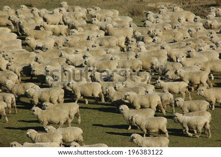 mob of sheep on a farm in Marlborough, South Island, New Zealand - stock photo