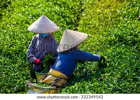 Mocchau highland, Vietnam: Farmers colectting tea leaves in a field of green tea hill on Oct 25, 2015. Tea is a traditional drink in Asia